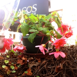Begonias at Jago's cafe