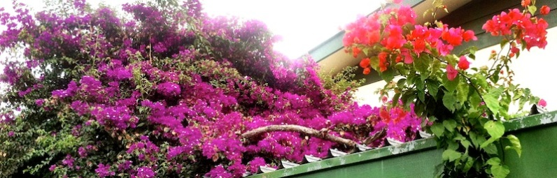 Bougainvillea everywher