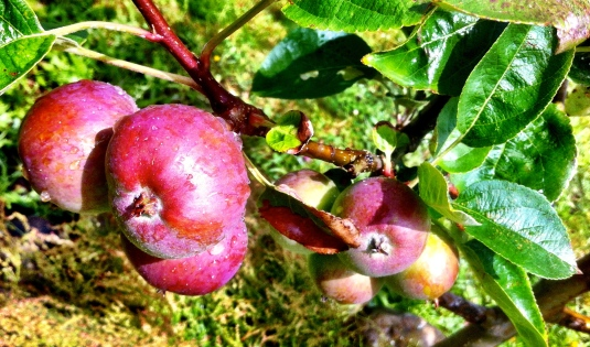 Apples Te Horo