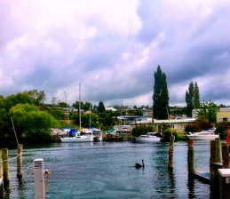 Black swan on the boat harbour