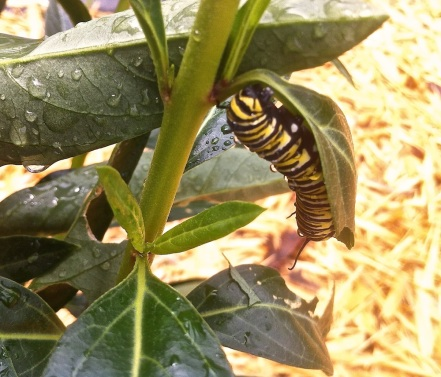 Caterpilla of the Monarch Butterfly