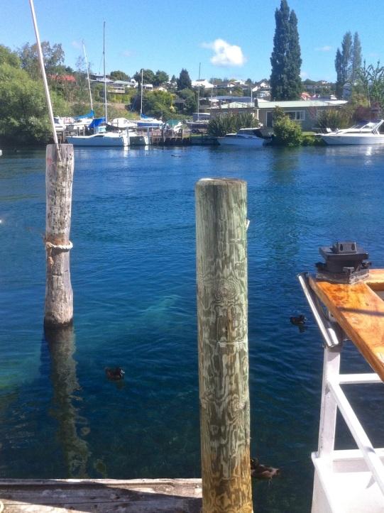Ducks on Lake Taupo.