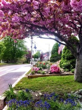 Cherry Blossoms in Wellfleet
