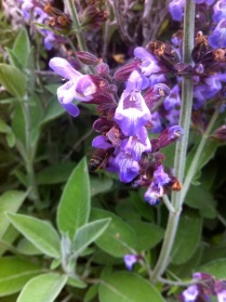 Sage flowers and bees, outside Summer Kitchen Trausse