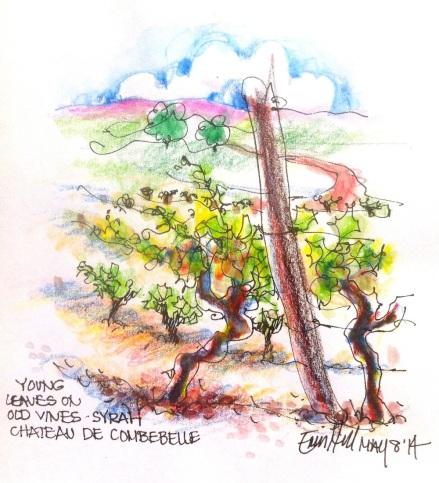 Syrah vines. Wendy's Wine Tour