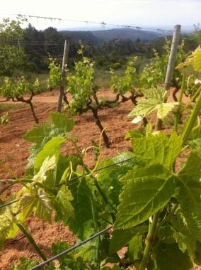 Vineyards everywhere