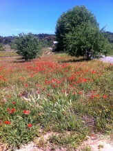 Wild poppies in Trausse