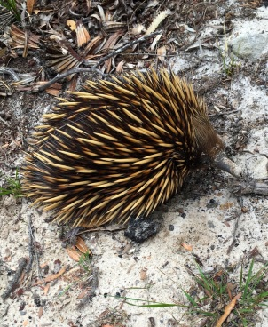 Echidna at North Head IMG_1890