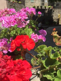 Tuesday. Geraniums