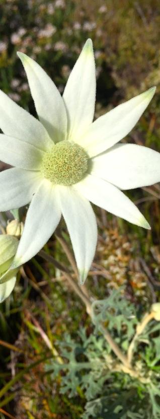 Saturday. Flannel flower