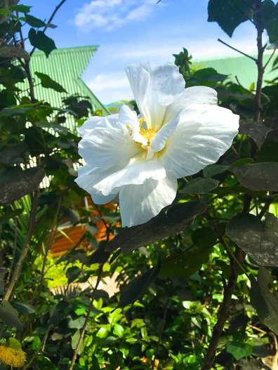 Wednesday. Perfect white hibiscus